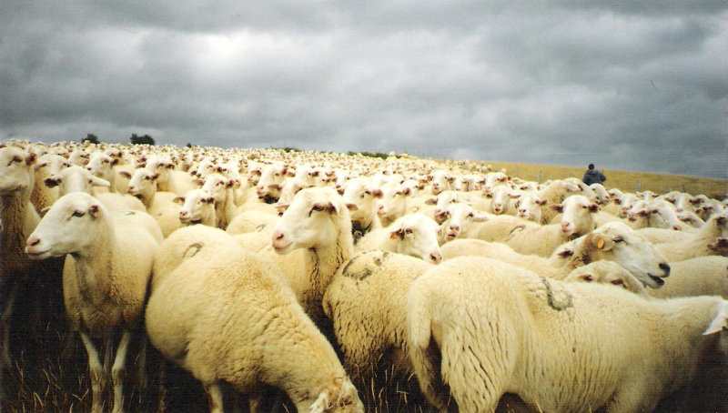Sheep in Navarra just before starting  five-day migration to winter pastures
